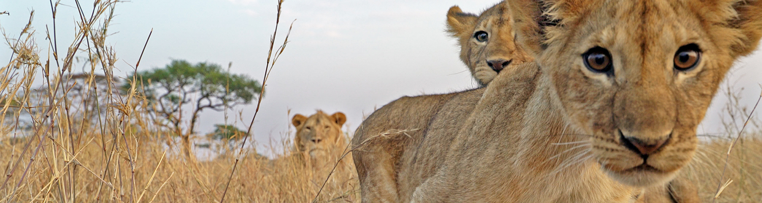 Lions from Serengeti